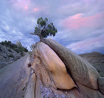 Juniper tree in Split rock, Dinosaur National Monument, Utah by Danita Delimont