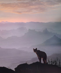 Mountain lion in Canyonlands National Park, summer, Utah by Danita Delimont