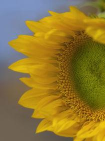 Immature Sunflower still growing by Danita Delimont