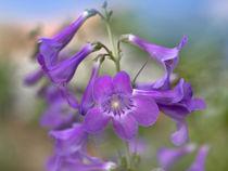 Close-up of Sidebells Penstemon, Utah USA von Danita Delimont