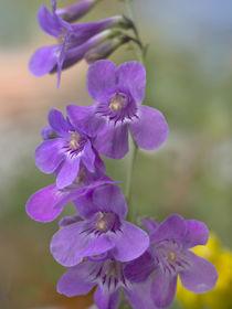 Sidebells Penstemon, Utah USA von Danita Delimont