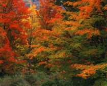 USA, New England, View of autumn forest by Danita Delimont