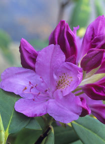 Portrait of Catawba Rhododendron, Virginia, USA by Danita Delimont