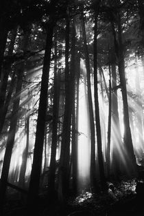 USA, Washington, Mount Rainier National Park, Sunlight through trees by Danita Delimont