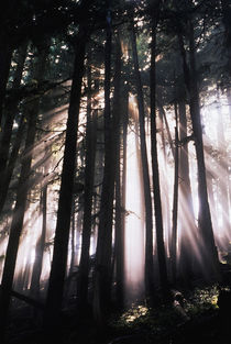 USA, Washington, Mount Rainier National Park, Sunlight through trees von Danita Delimont