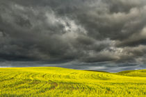 Rolling hills of yellow canola, Palouse region of Eastern Washington. by Danita Delimont
