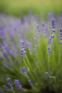 Lavender plants. by Danita Delimont