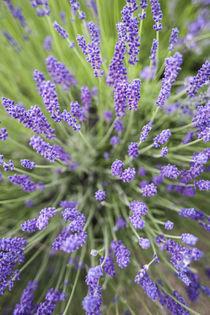 Lavender plants. von Danita Delimont