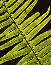 USA, Washington, Olympic National Park, Backlit sword fern by Danita Delimont