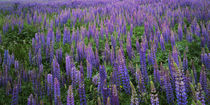 USA, Washington, Clallam County, Lupine von Danita Delimont
