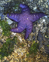 USA, Washington, Orcas Island, Purple Star, Starfish by Danita Delimont
