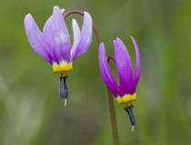 USA, Washington, Okanogan National Forest, Shooting Star, Dodecatheon von Danita Delimont