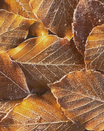 USA, Washington, John Finch Arboretum, Frost on Beech Leaves von Danita Delimont