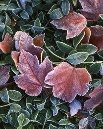 USA, Washington, Spokane County, Maple leaves and myrtle von Danita Delimont