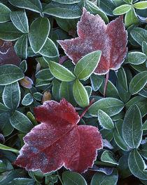 USA, Washington, Spokane County, Maple Leaves, Myrtle leaves von Danita Delimont