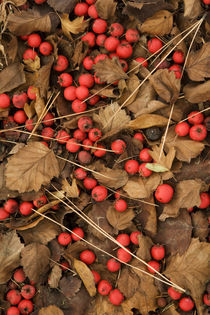 USA, Washington, Spokane County, Hawthorn leaves and berries von Danita Delimont
