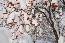 USA, Washington, Spokane County, Western Mountain Ash berries von Danita Delimont