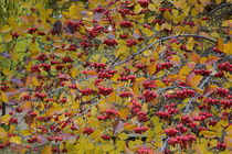 USA, Washington, Spokane County, Hawthorn leaves and berries by Danita Delimont