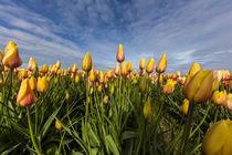 Skagit Tulips von Danita Delimont