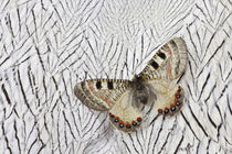 Apollo Butterfly on Silver Pheasant Feather Pattern by Danita Delimont