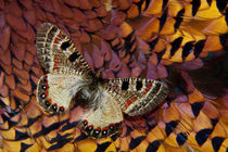 Apollo Butterfly on Ring-Necked Pheasant Feather Design by Danita Delimont
