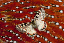 Apollo Butterfly on Tragopan Body Feather Design by Danita Delimont