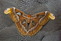 Atlas Silk Moth on Helmeted Guineafowl Feathers von Danita Delimont