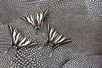North American Zebra Swallowtail Butterflies on Helmeted Gui... by Danita Delimont