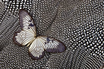 Paper Kite Tropical Butterfly on Helmeted Guineafowl by Danita Delimont
