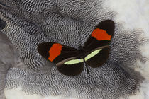 Heliconius Longwing Butterfly on Helmeted Guineafowl Feathers by Danita Delimont