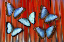 Five Blue Morpho Butterflies on Macau Tail Feather Design by Danita Delimont