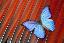 Tropical Blue Morpho Butterfly on Scarlet Macaw Tail Feather Design von Danita Delimont