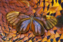 Glass-wing Butterfly on Ring-Necked Pheasant Feather Design by Danita Delimont