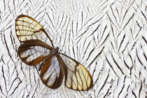 Glass-wing Butterfly on Silver Pheasant Feather Pattern by Danita Delimont
