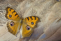 Pansy Butterfly on Egyptian Goose Feather Design by Danita Delimont