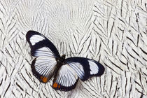 Hypolimnas usambara Butterfly on Silver Pheasant Feather Pattern by Danita Delimont