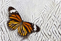 Viceroy Butterfly on Silver Pheasant Feather Pattern by Danita Delimont