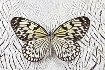 Paper Kite Butterfly on Silver Pheasant Feather Pattern by Danita Delimont