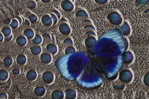 Peruvian Asterope Butterfly on Grey Peacock Pheasant Feather Design by Danita Delimont