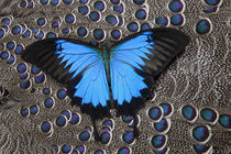 Blue Mountain Butterfly on Grey Peacock Pheasant Feather Design von Danita Delimont