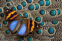Single Butterfly on Malayan Peacock-Pheasant Feather Design von Danita Delimont
