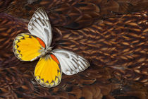 Delias Butterfly on Cooper Pheasant Feather Design von Danita Delimont