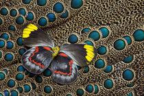 Single Delias Butterfly underside on Malayan Peacock-Pheasan... von Danita Delimont