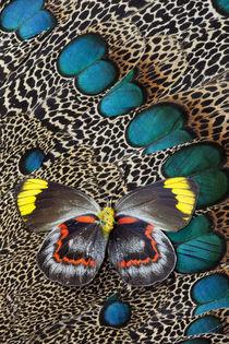 Single Delias Butterfly underside on Malayan Peacock-Pheasan... by Danita Delimont