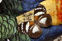 Forest Queen Butterfly on Lady Amherst Pheasant Feather Design von Danita Delimont