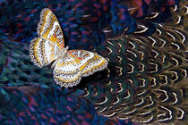Lacewing, Cethosia Butterfly underside on Breast Feathers of... by Danita Delimont