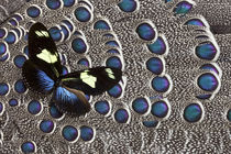 Heliconius Longwing Butterfly on Grey Peacock Pheasant Feather Design by Danita Delimont