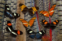 Seven Longwing Butterflies on Tail Feathers of variety of Pheasants von Danita Delimont