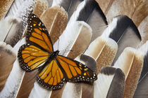 Monarch Butterfly on Turkey Feather Design by Danita Delimont