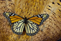 Monarch Butterfly on Breast Feathers of Ring-Necked Pheasant Design by Danita Delimont